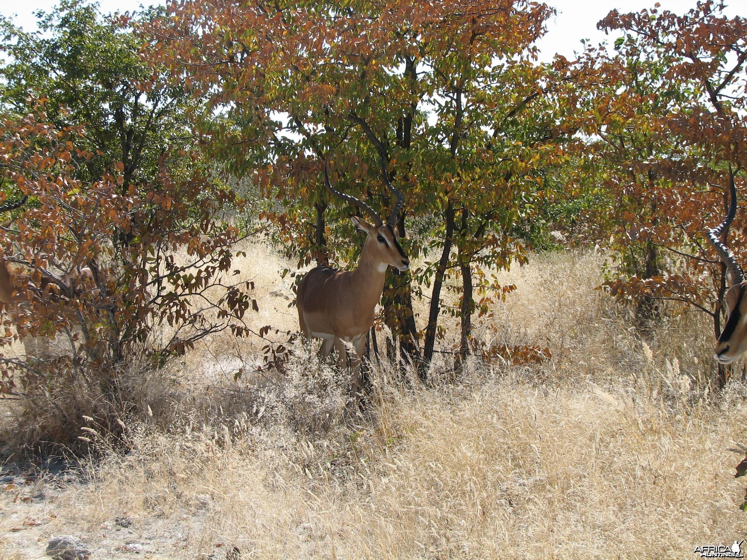 Black-faced Impala Etosha Namibia