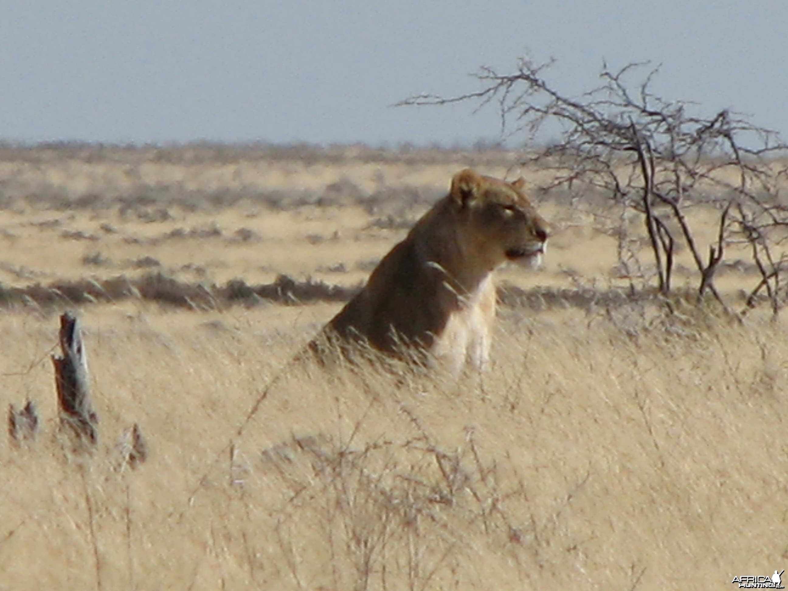 Lioness Etosha Namibia