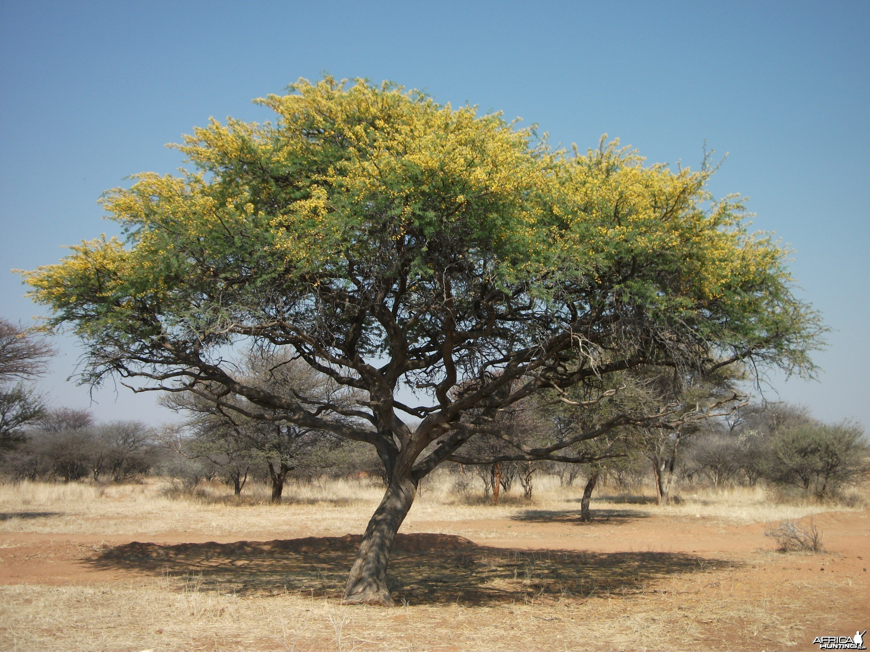 Bush Tree in Bloom Namibia