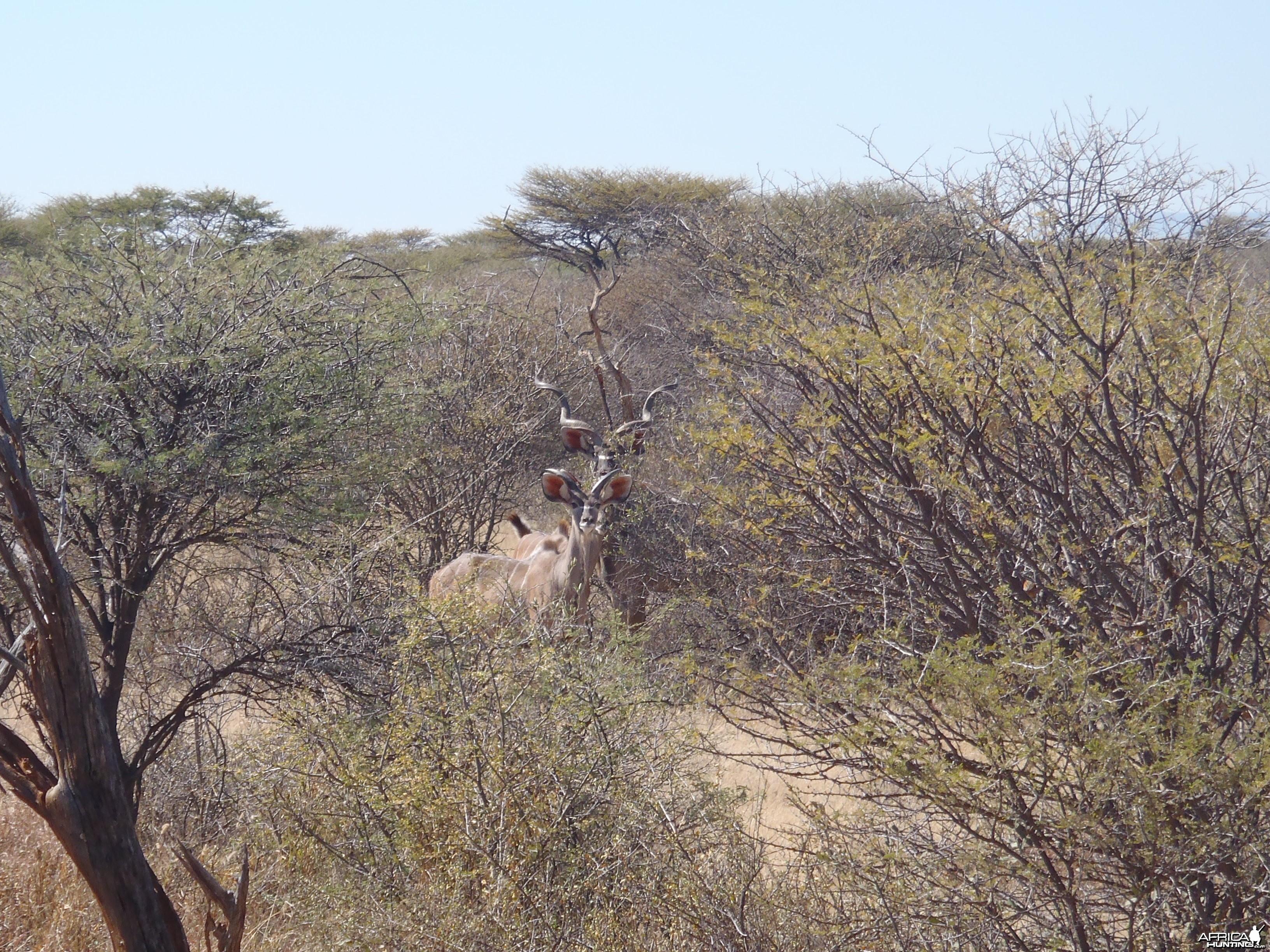 Kudu Bulls Namibia