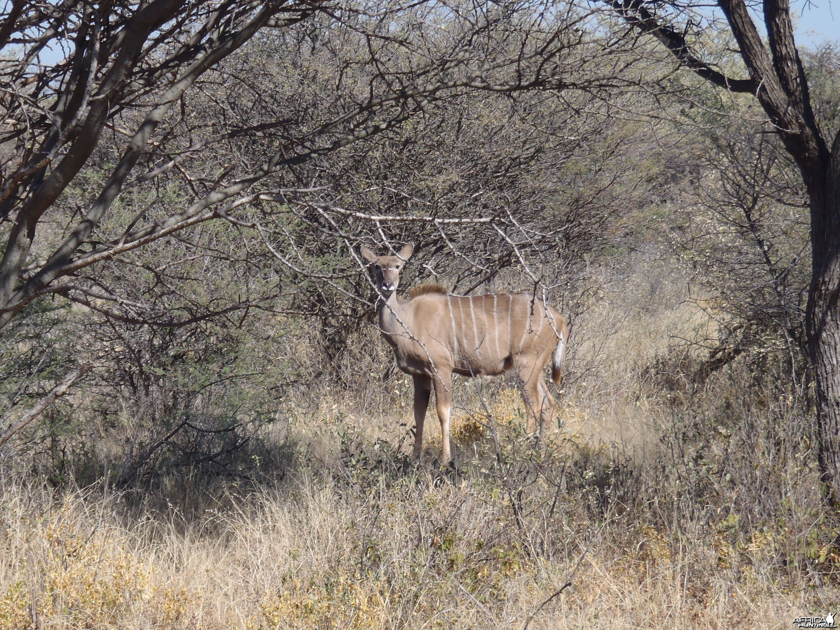 Kudu Female Namibia