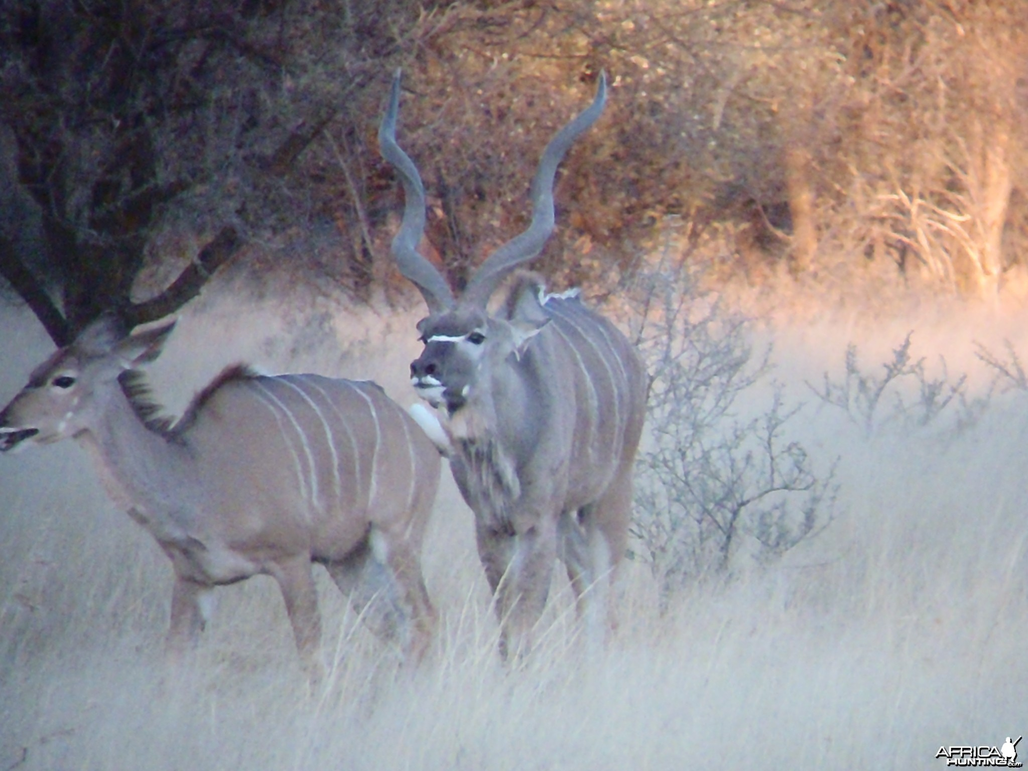 Greater Kudu Rut in Namibia