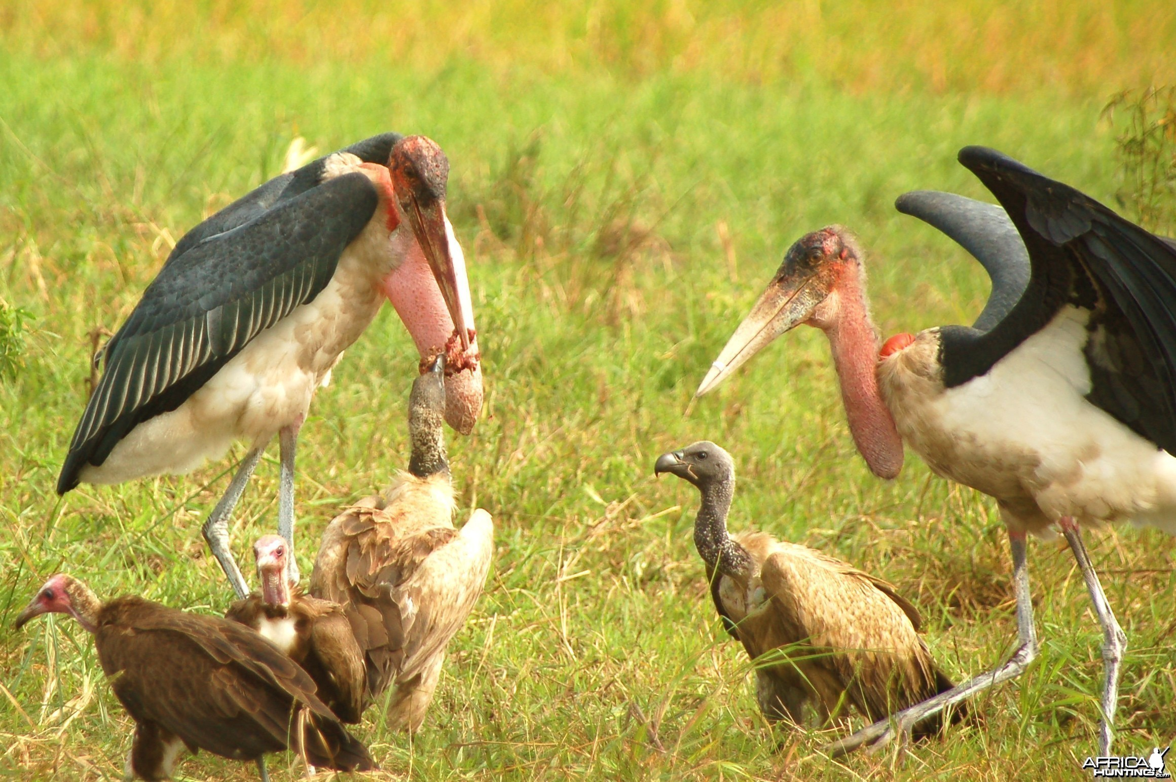 Vultures and Marabous
