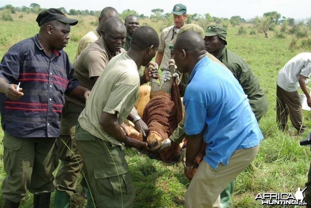 Game Capture Uganda Jackson's Hartebeest