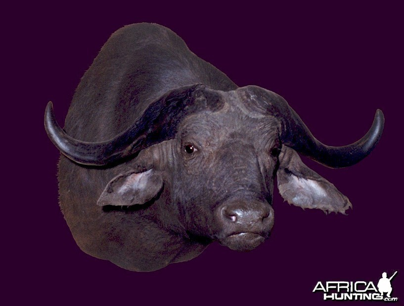 Cape Buffalo Wall Mount