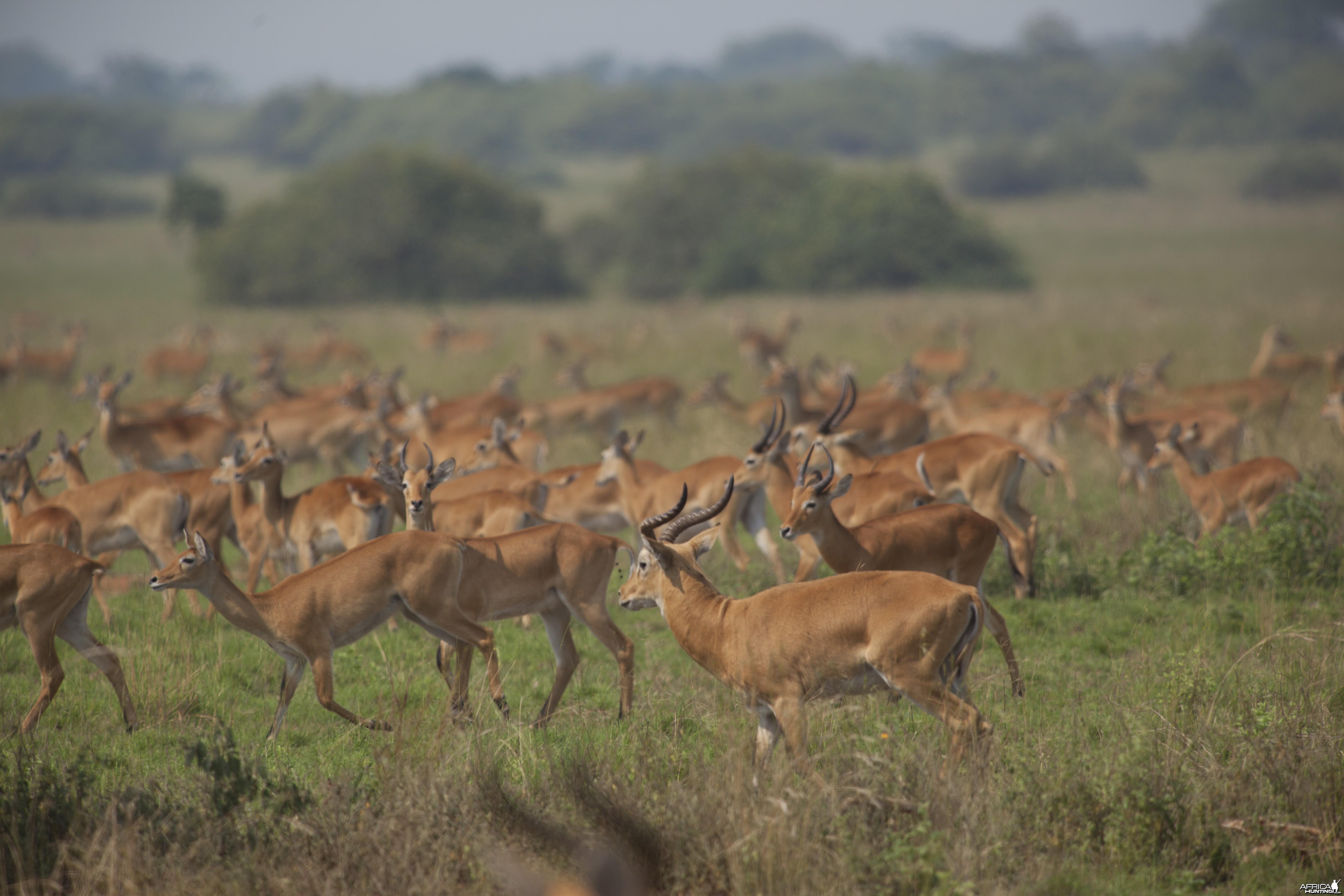 Kob Herd Uganda