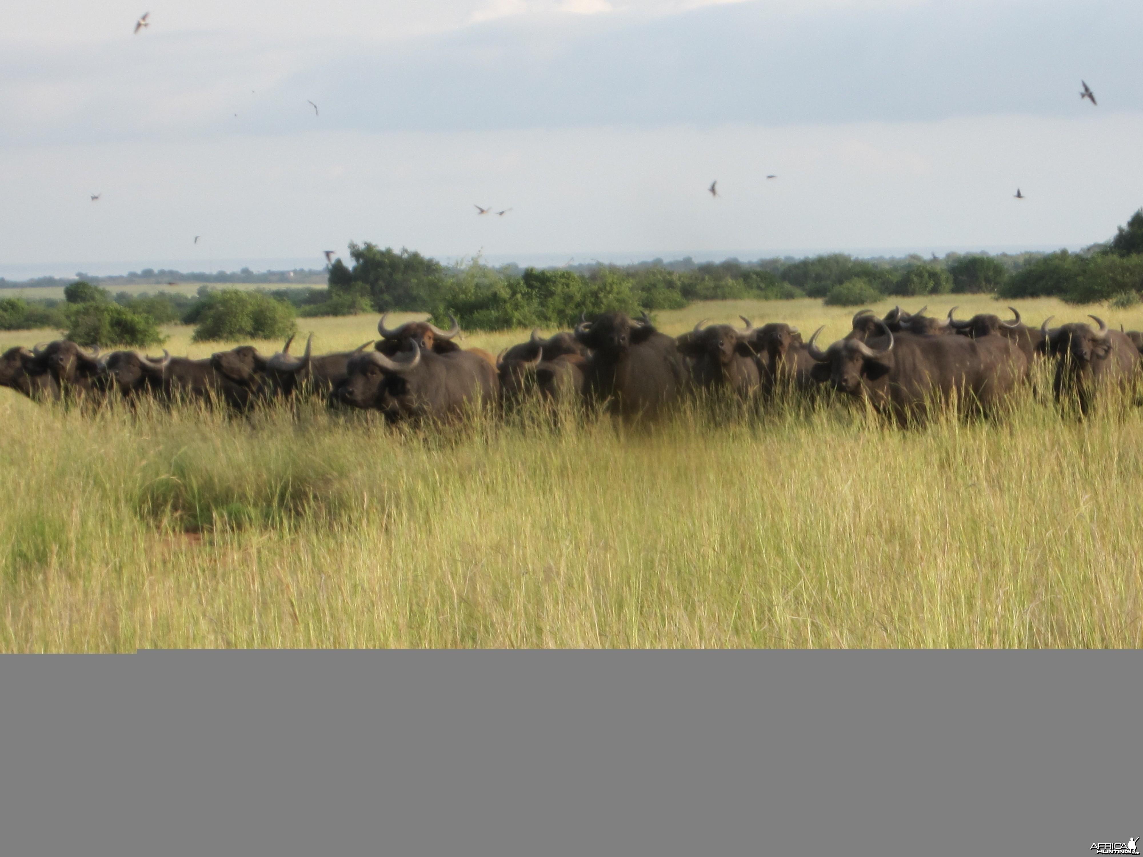 Hunting Nile Buffalo Uganda
