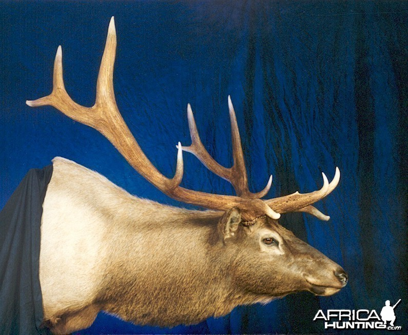 Elk Wall Mount