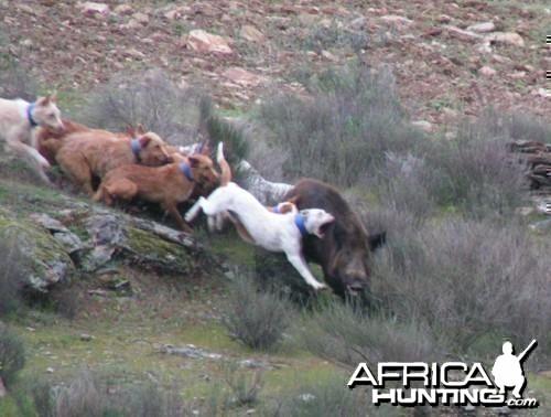 Agarre hunting wild boar