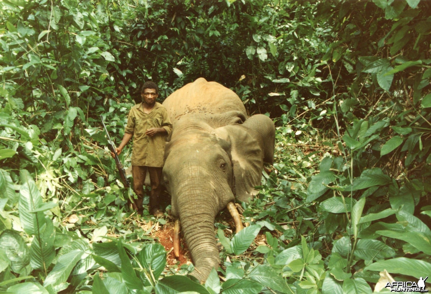 Elephant and Pigmy after a charge in the forest of Cameroon
