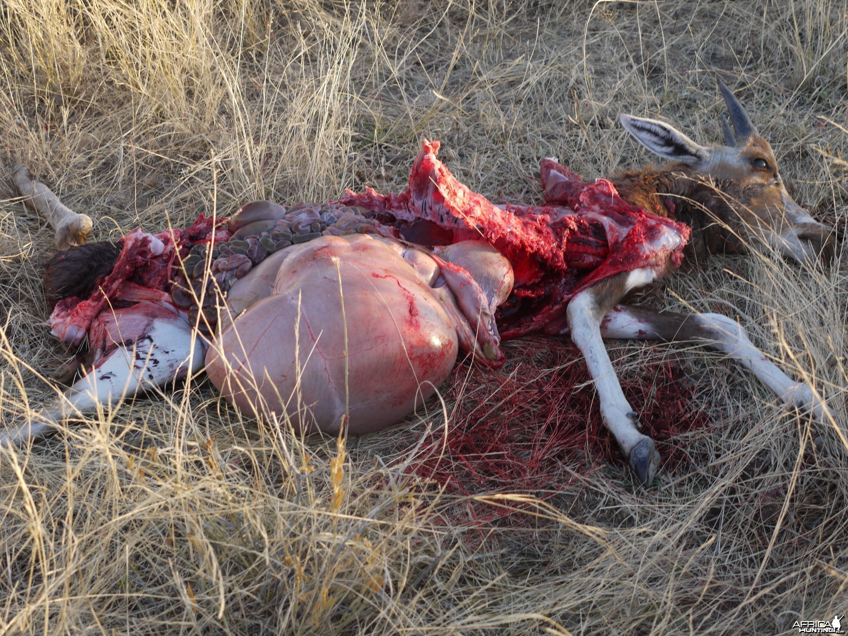 Fresh Cheetah kill of a young Blesbok