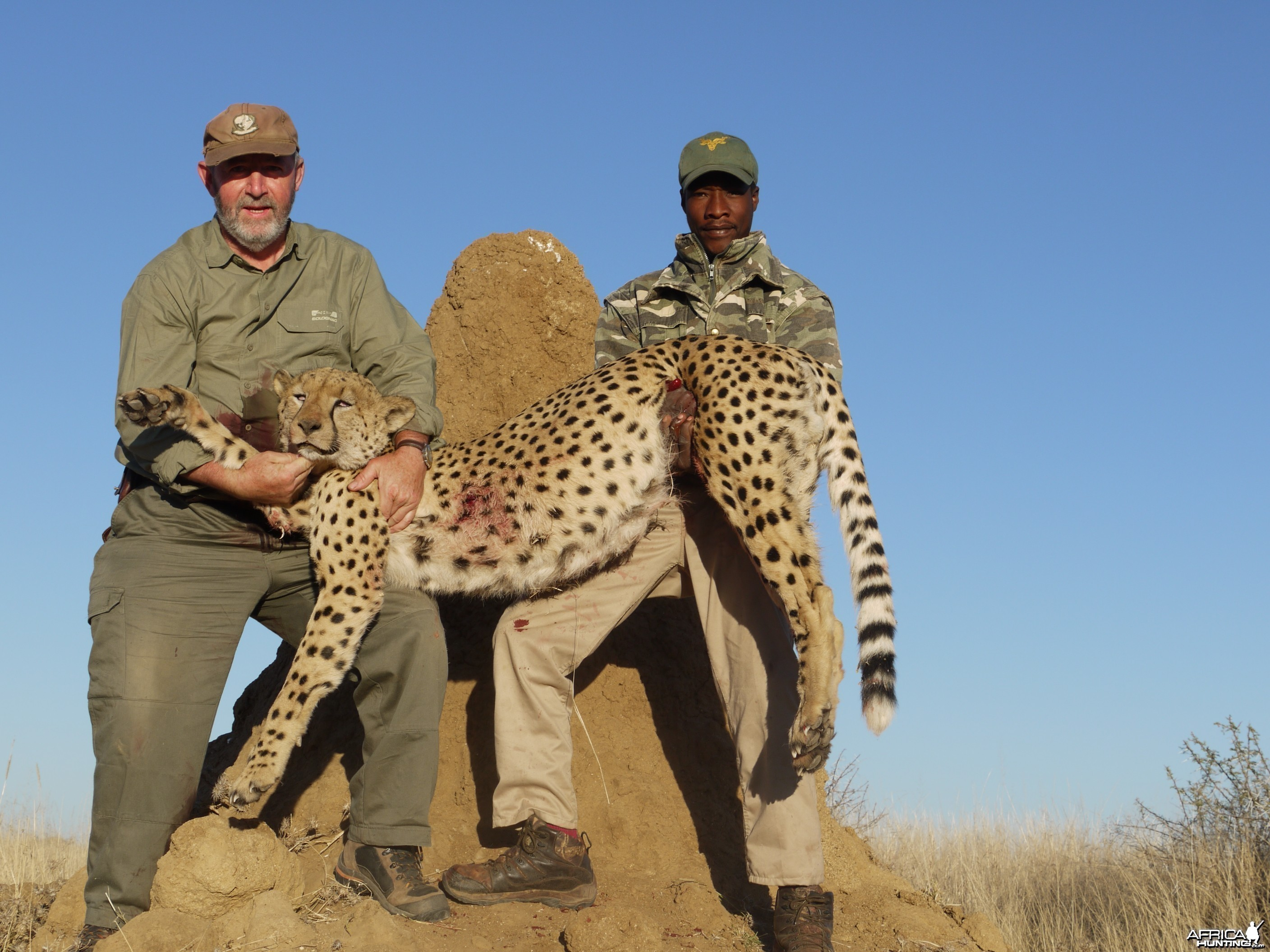 Hunting Cheetah in Namibia