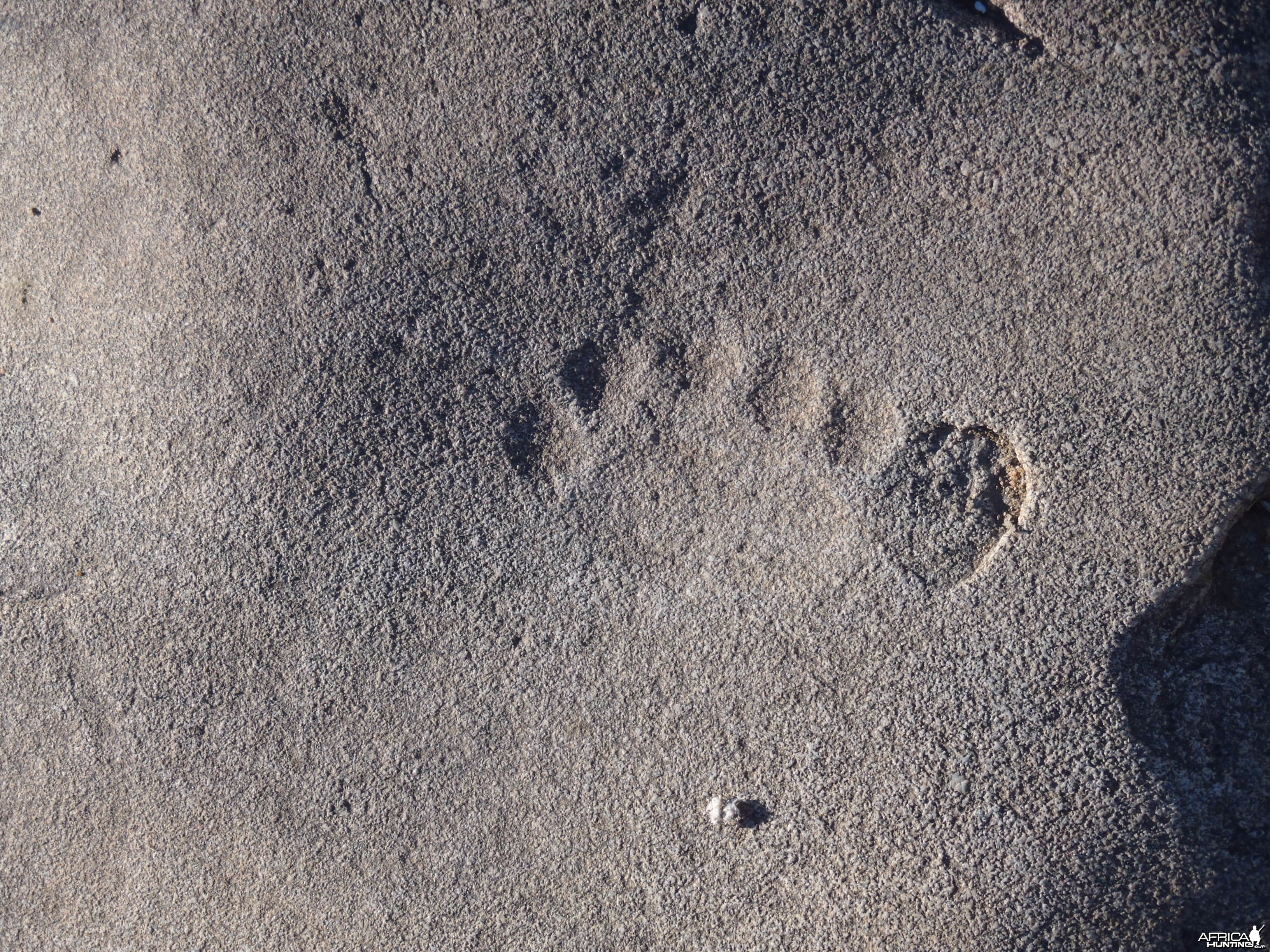 Lion print in the rock in Namibia