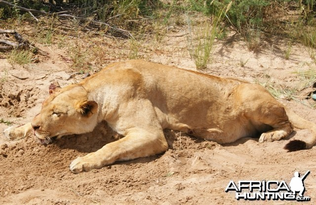 Hunting Lioness with Cheetau Safaris
