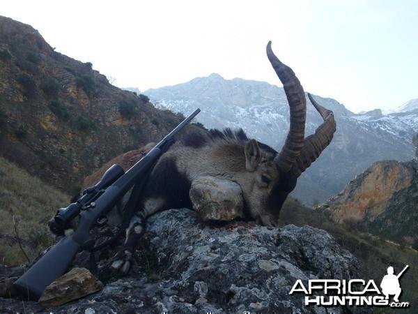 Hunting Spanish Ibex