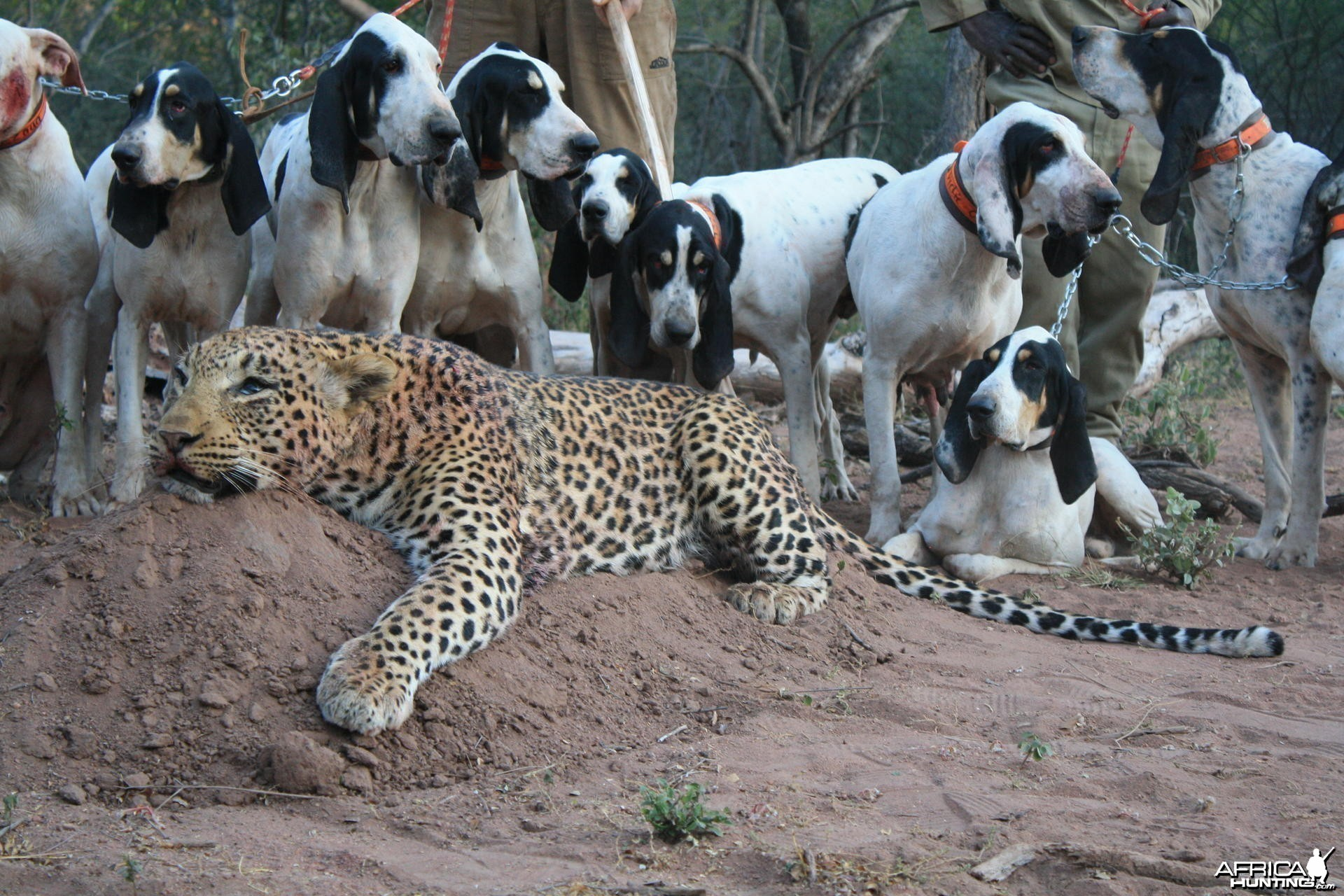 Hunting Leopard with Hounds