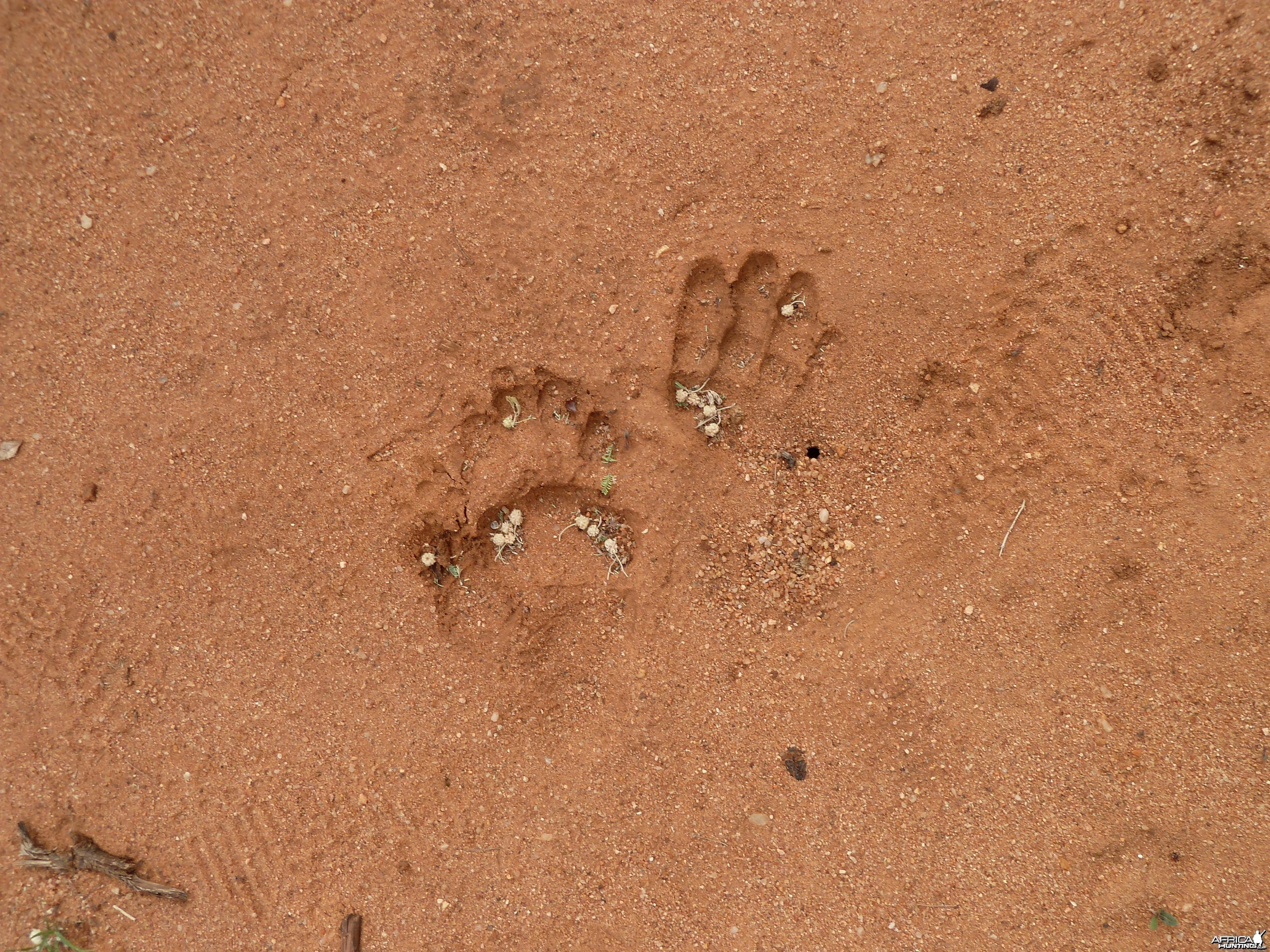 Chacma Baboon Track