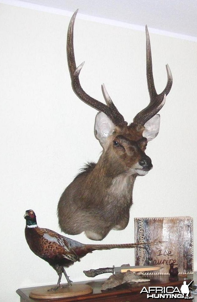 Rusa Deer Taxidermy Mount