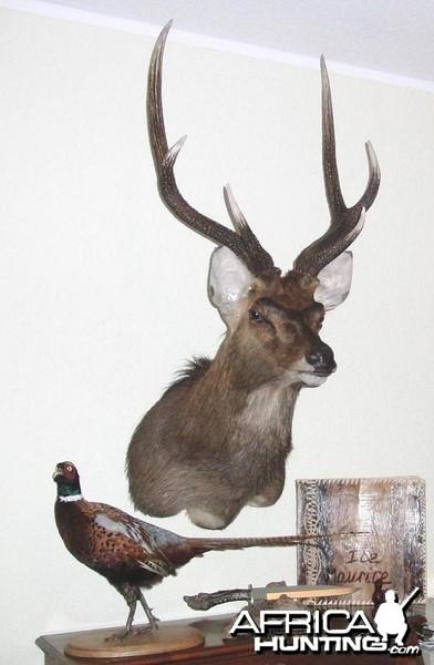 Rusa Deer Taxidermy Mount
