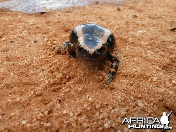 Banded Rubber Frog namibia