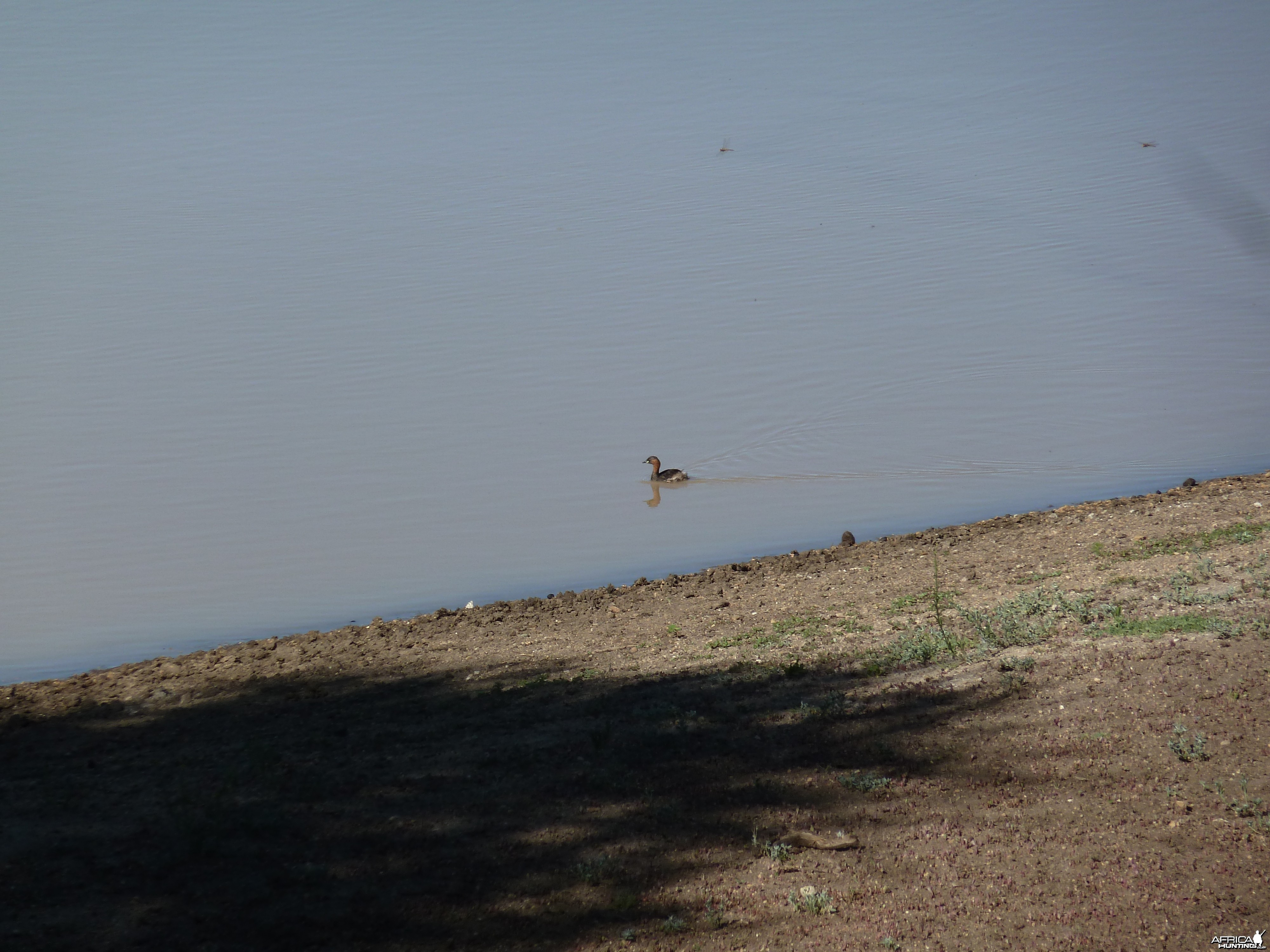 Duck Namibia