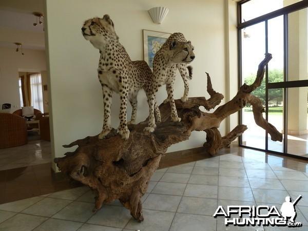 Cheetah Taxidermy