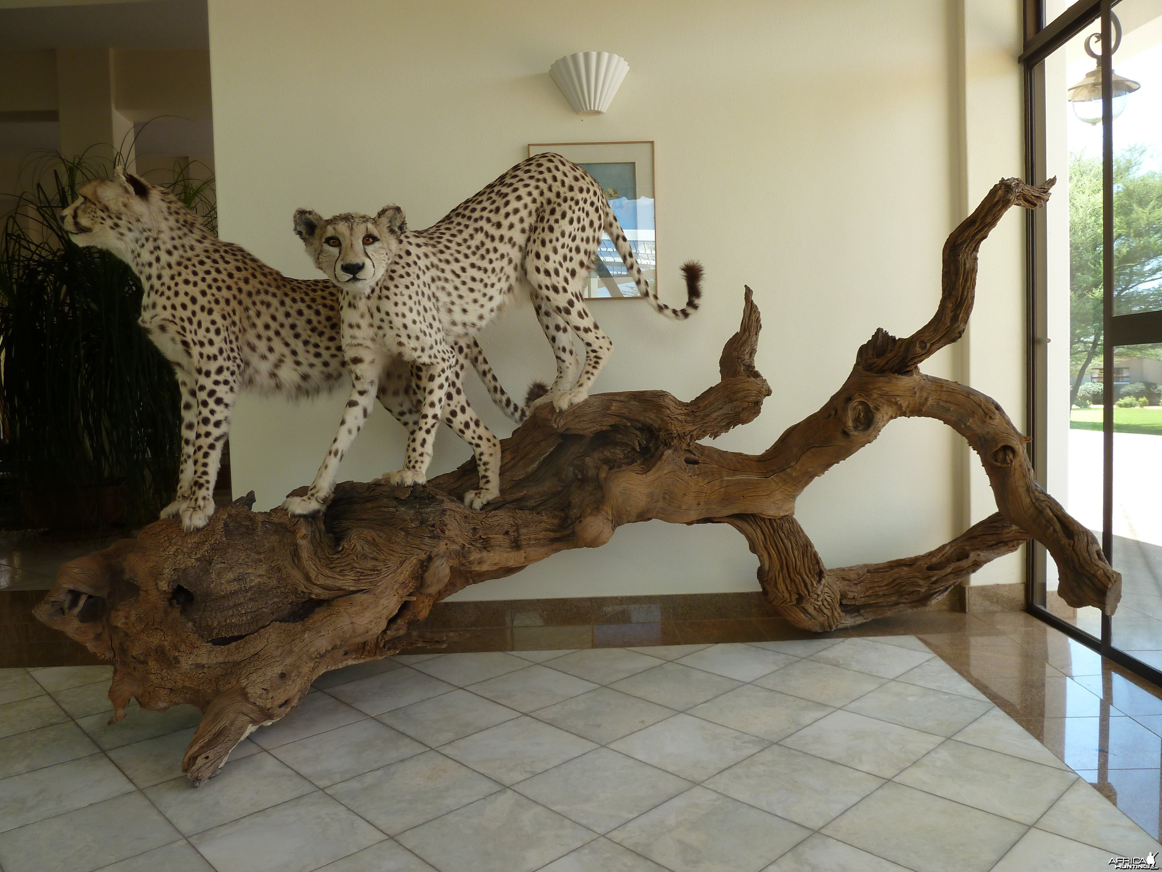 Cheetah Taxidermy