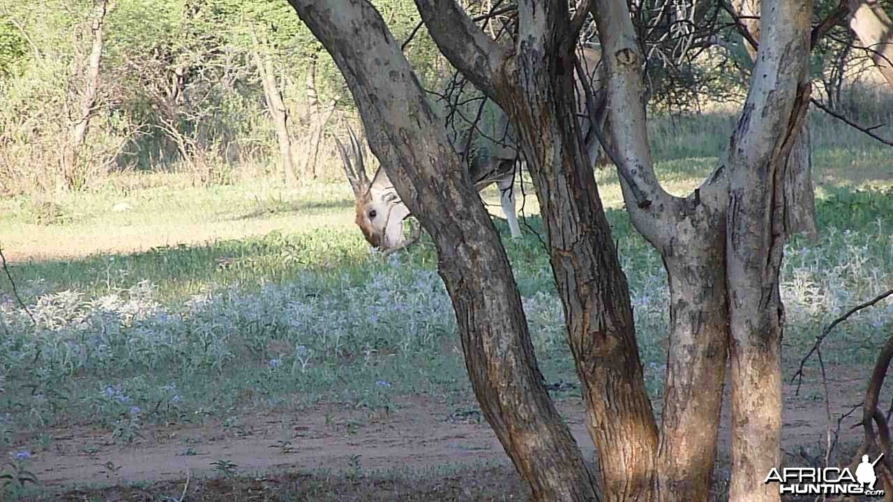 Cape Eland Bull Namibia