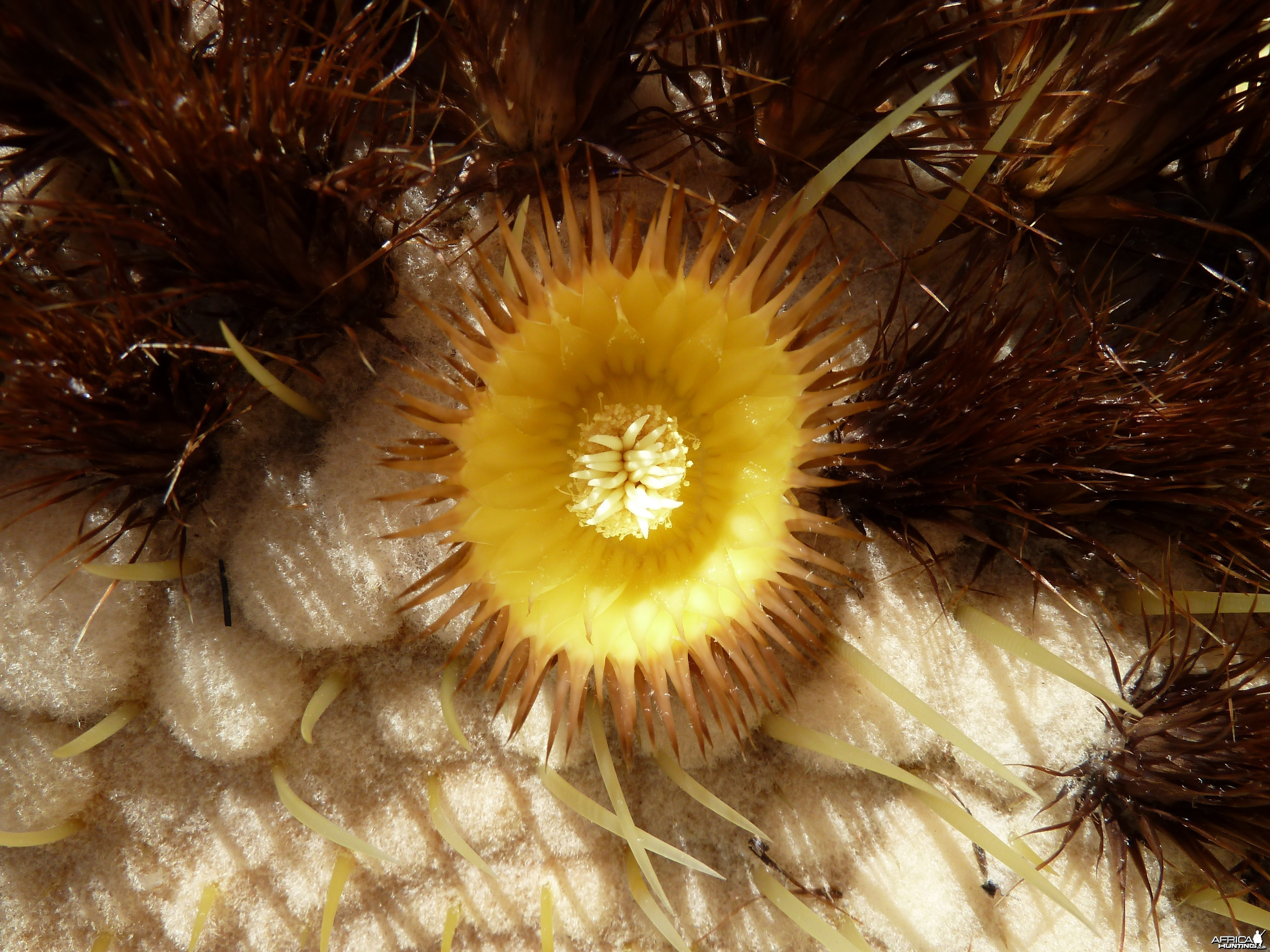 Golden Barrel Cactus Flower