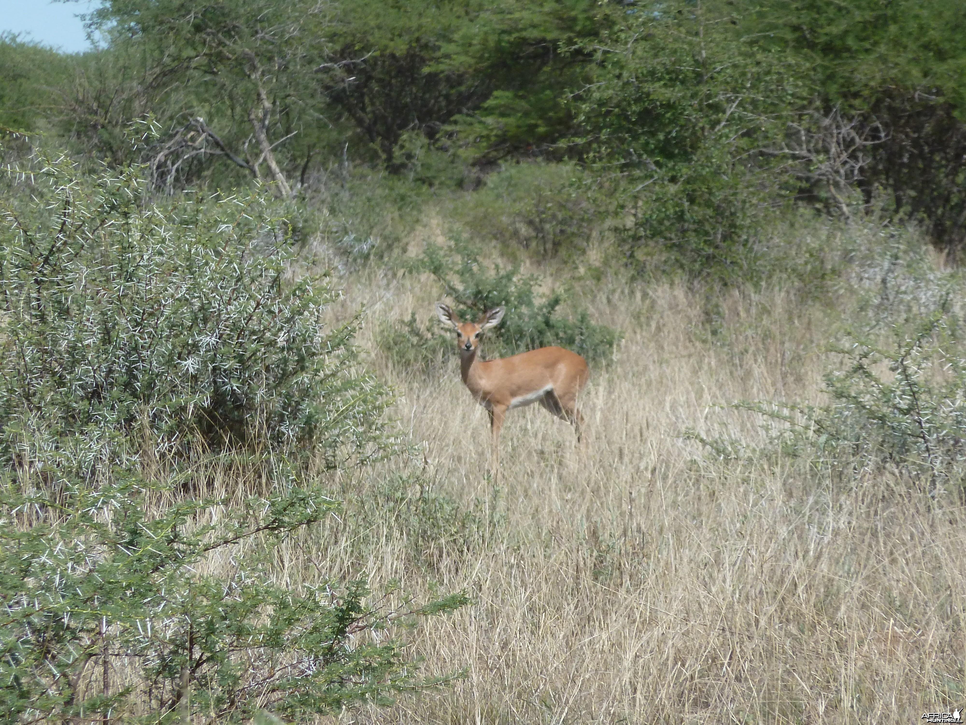 Steenbok in Namibia