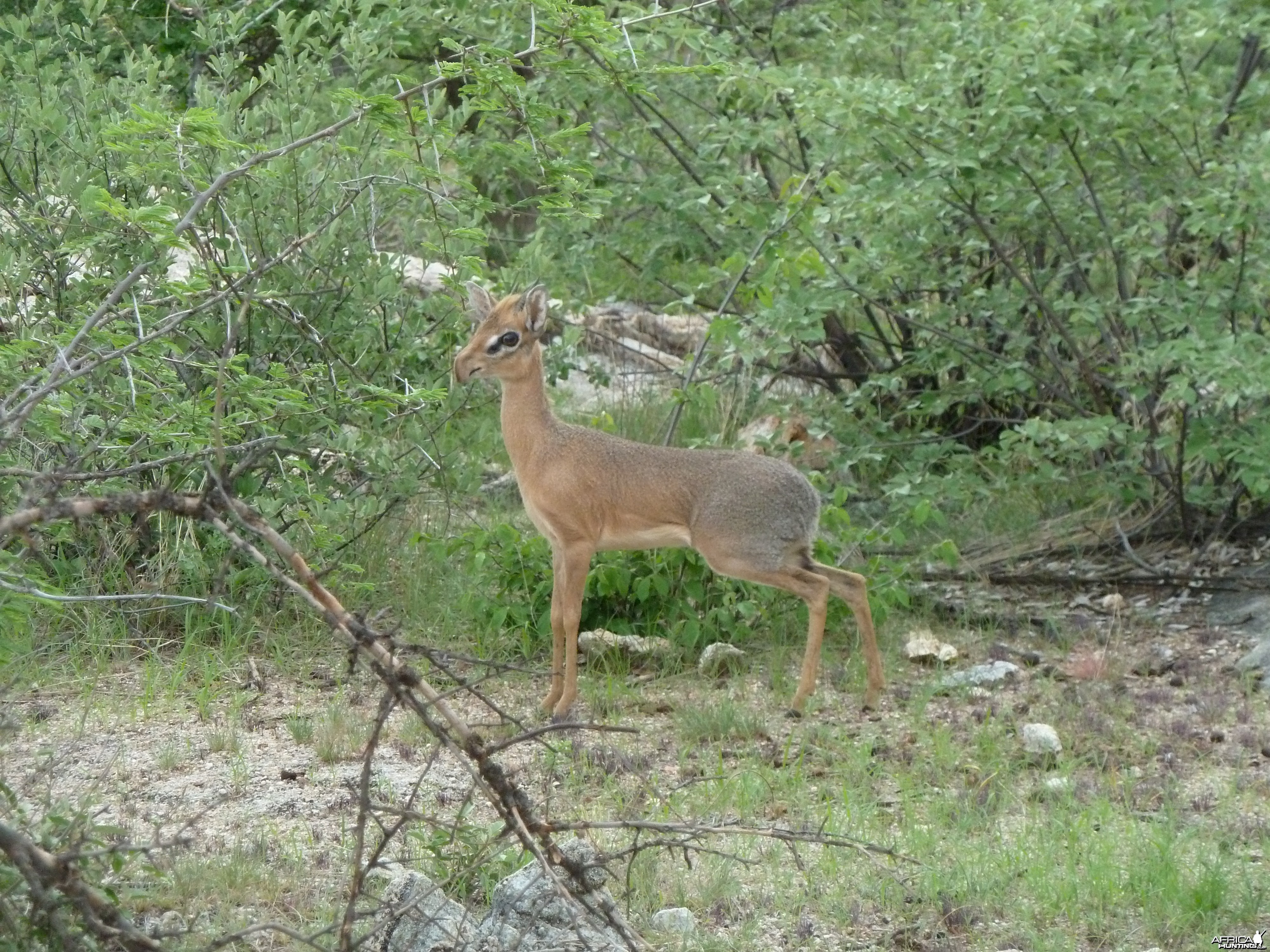 Damara Dik-Dik in Namibia