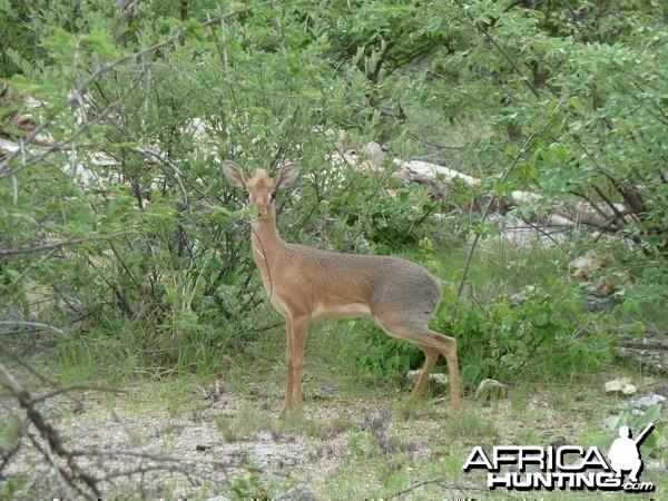 Damara Dik-Dik in Namibia