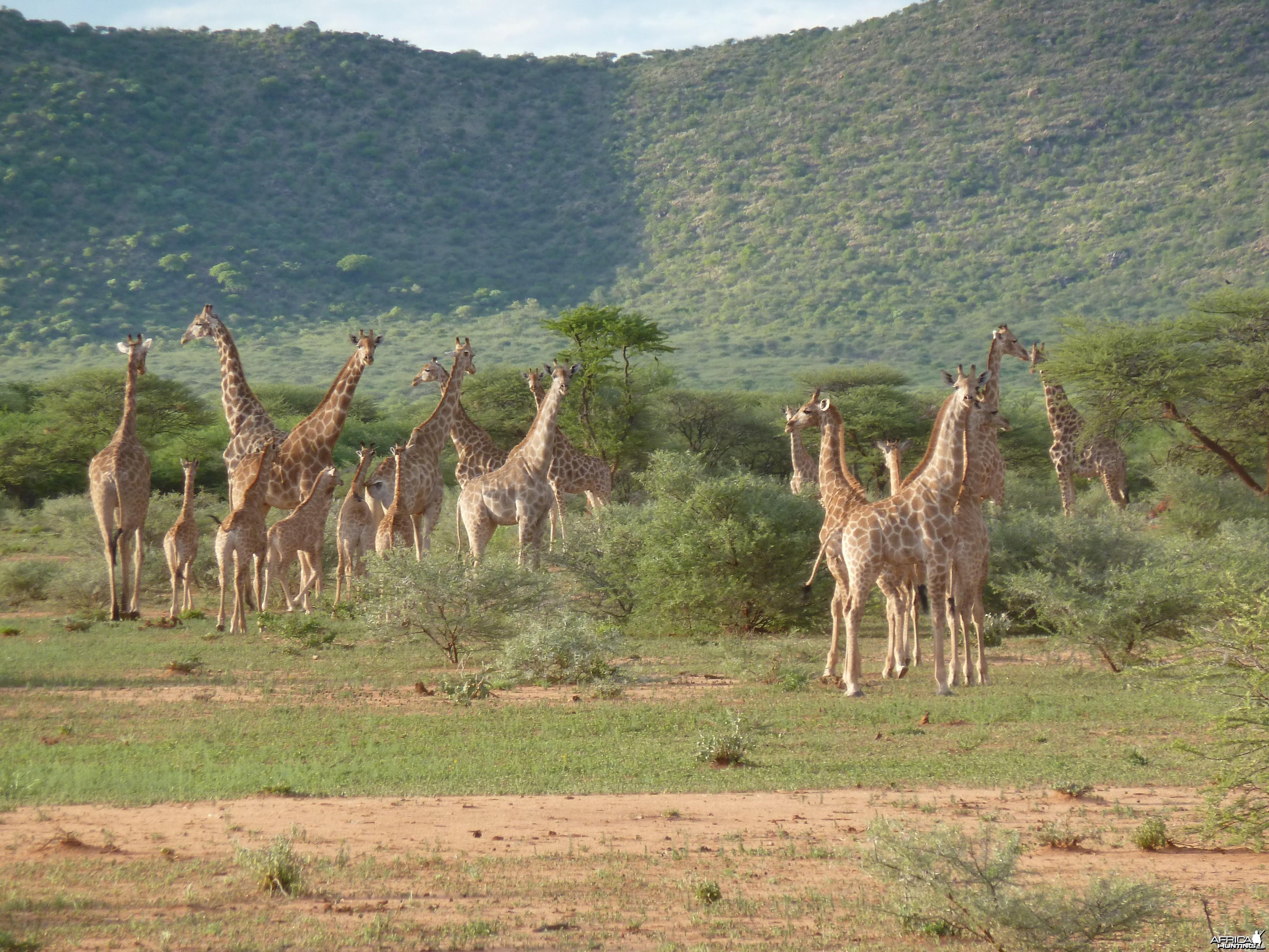 Giraffe Namibia