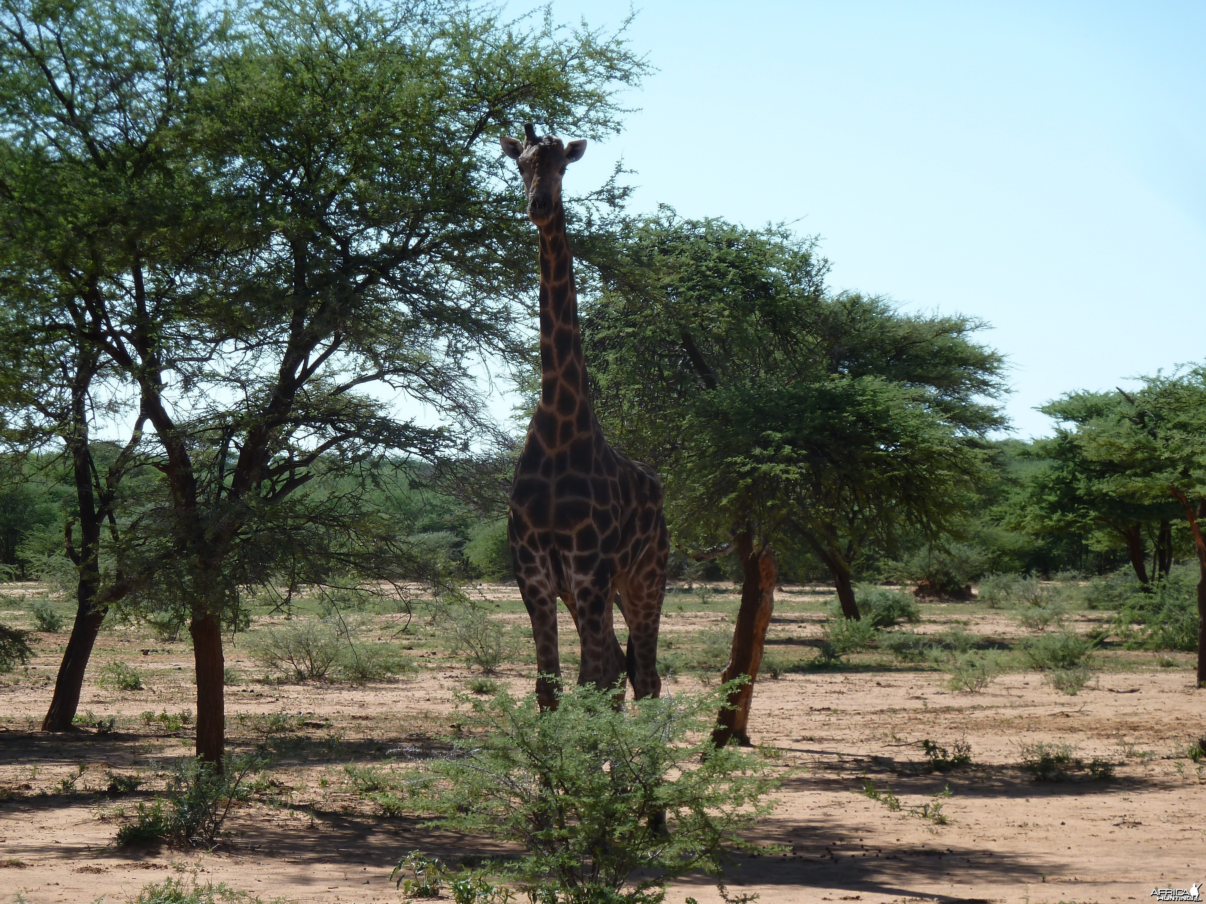 30 Year Old Giraffe Bull Namibia