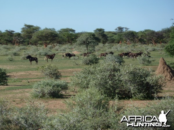 Black Wildebeest Namibia