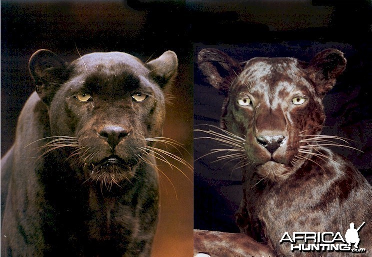 Actual Male Black Leopard (left) - Actual Mounted Female Black Leopard (rig