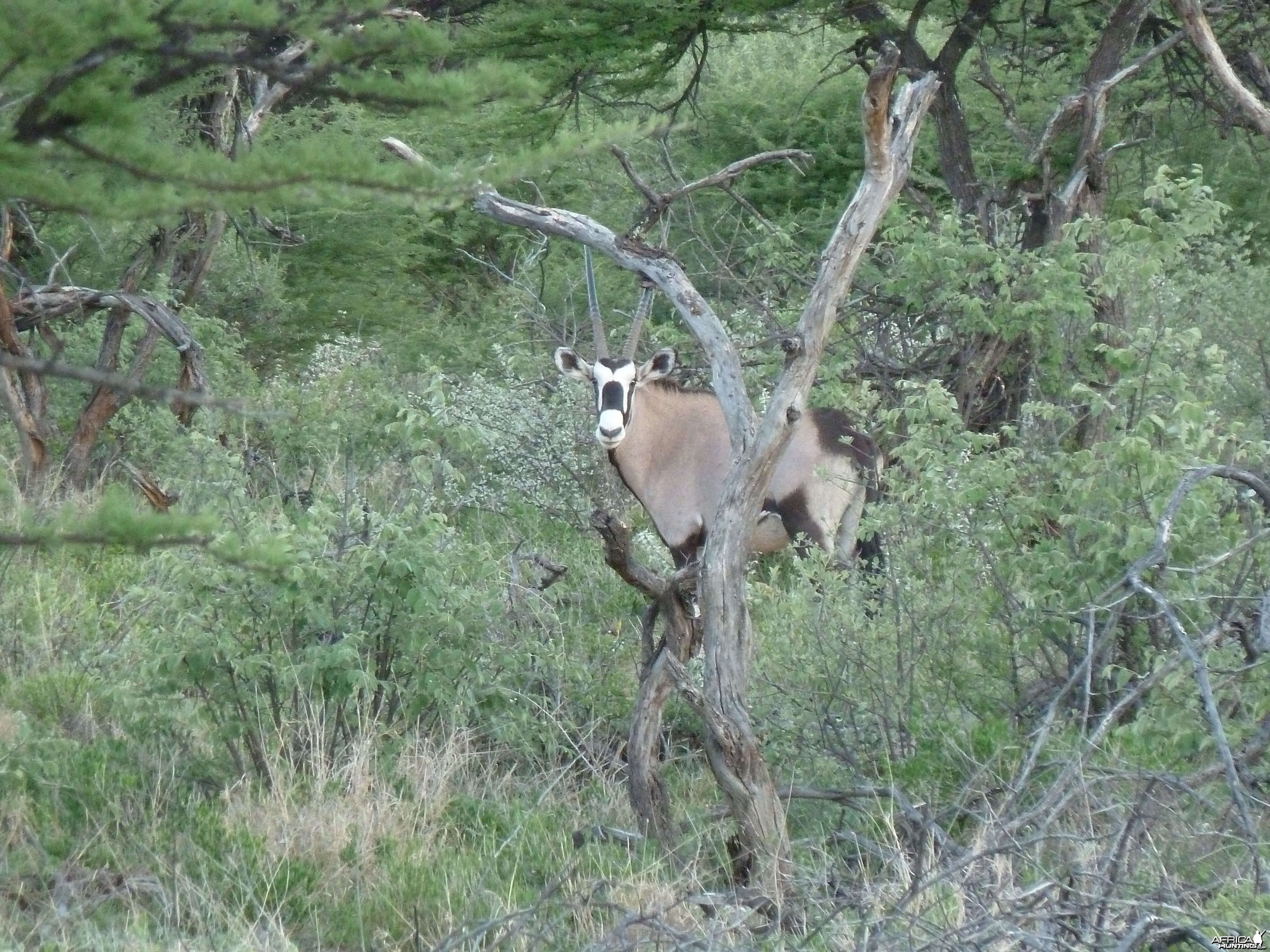 Gemsbok Namibia