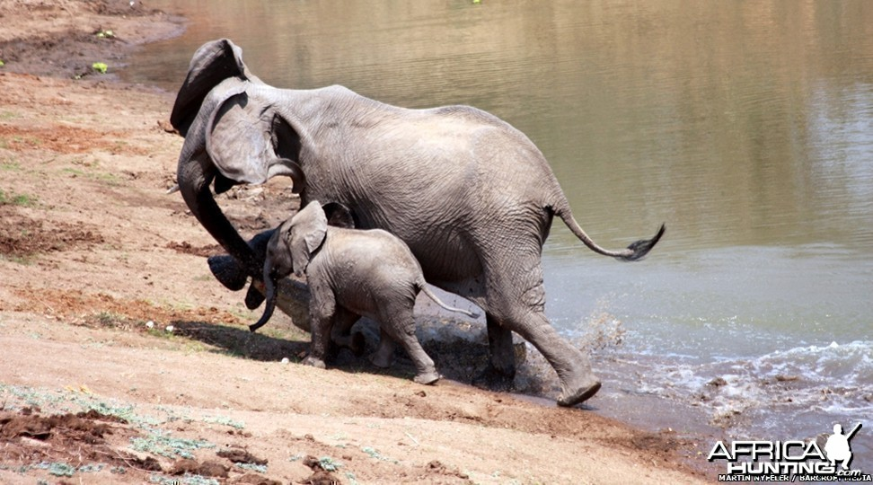 Ferocious Crocodile attacking Elephant