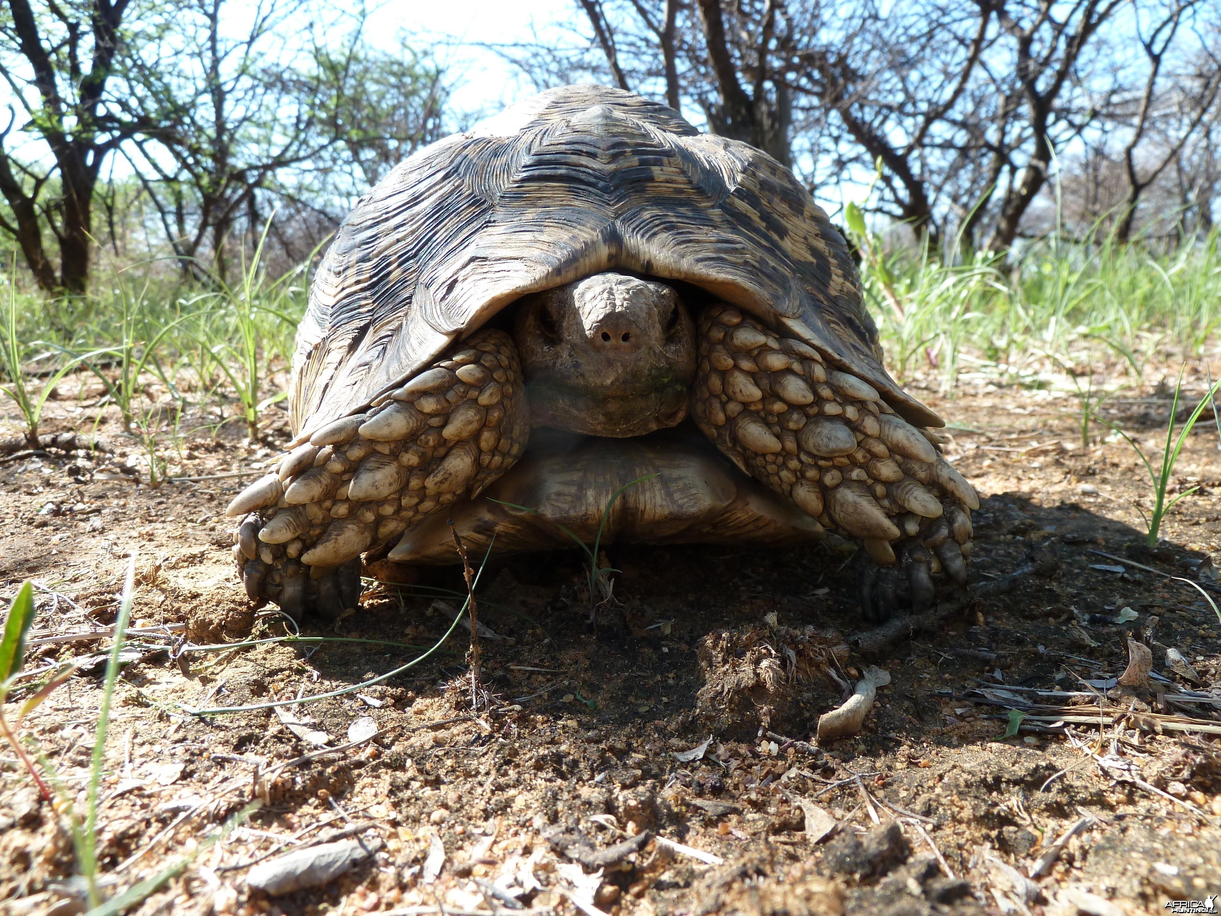 Leopard Tortoise Namibia