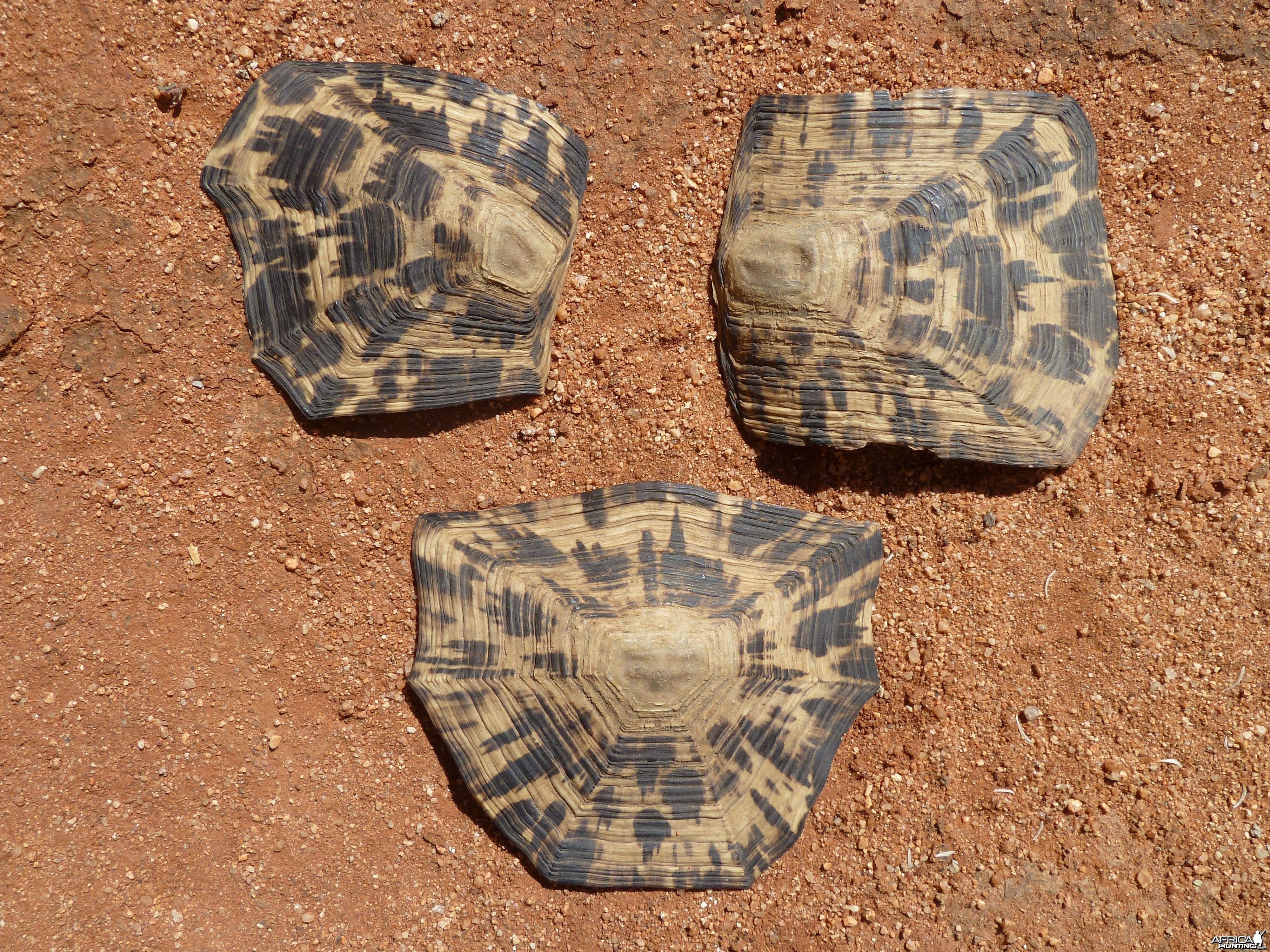 Leopard Tortoise Scales Namibia