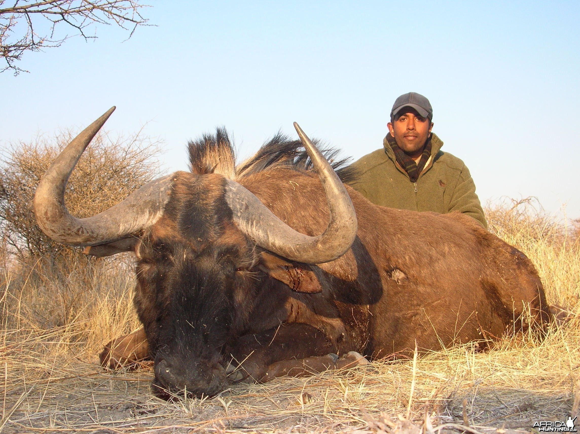Cross Breed Blue & Black Wildebeest Hunted in Namibia