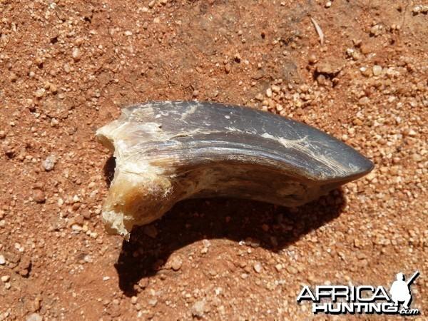Ostrich Nail