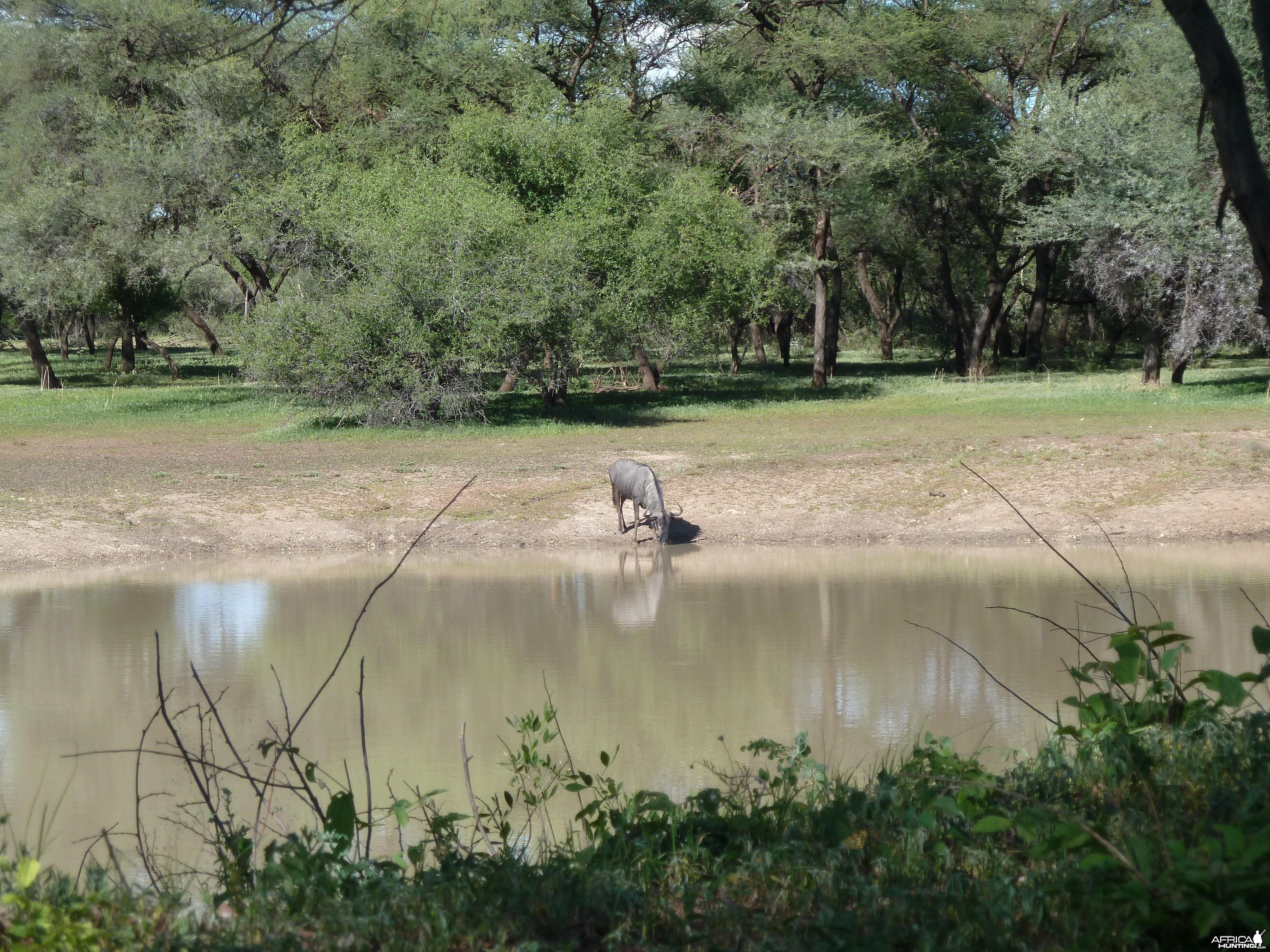 Blue Wildebeest Namibia