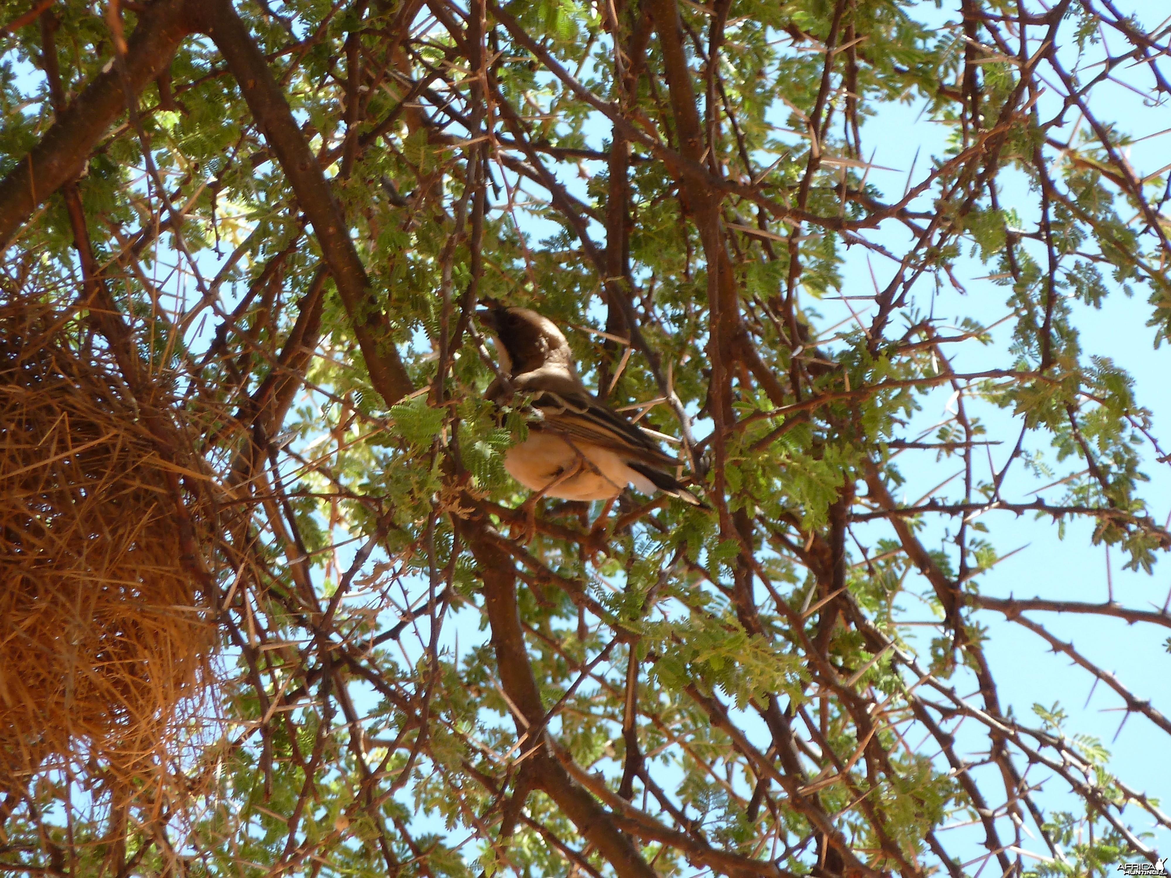 Weaver Bird Namibia
