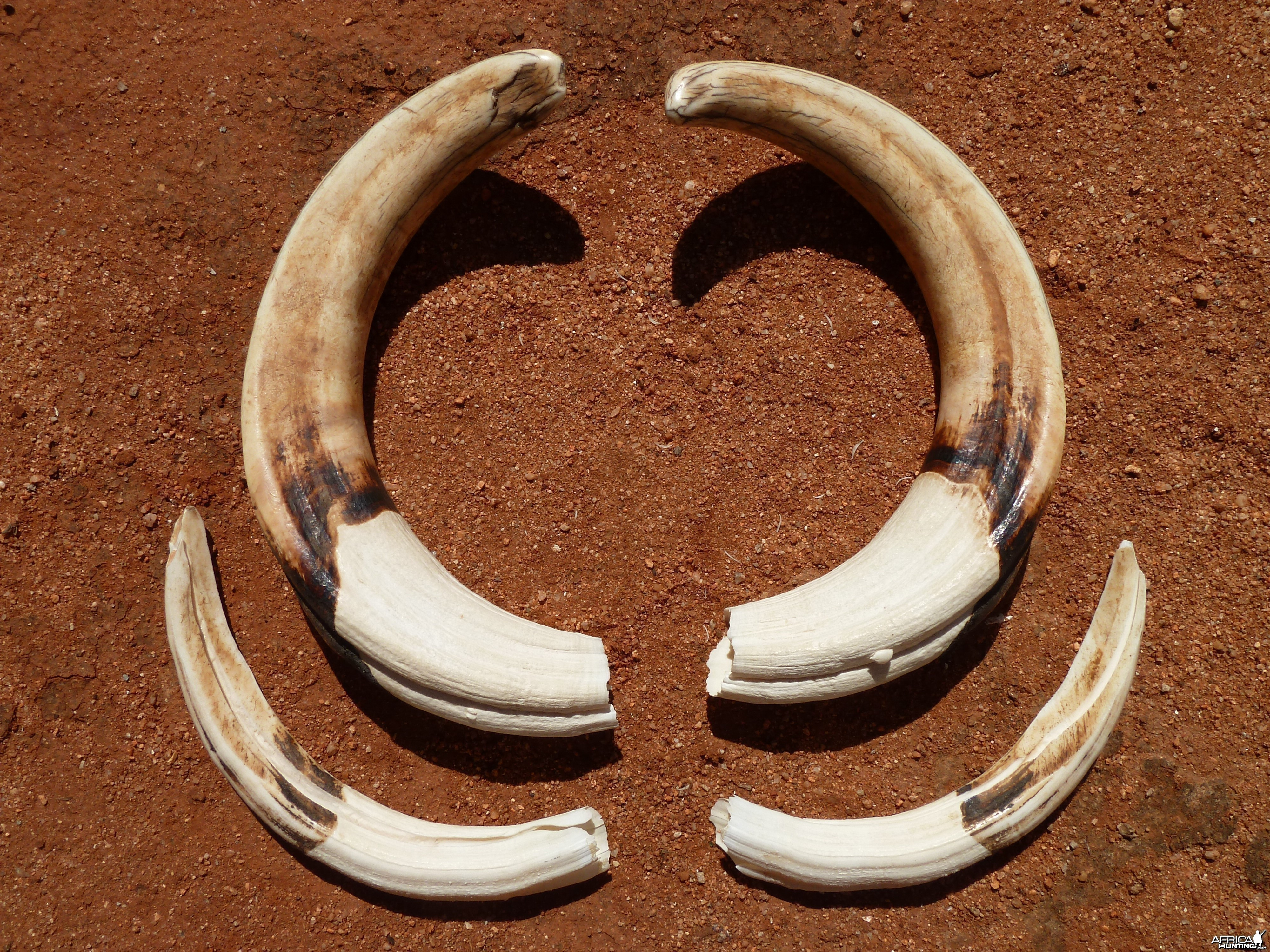 Warthog Tusks