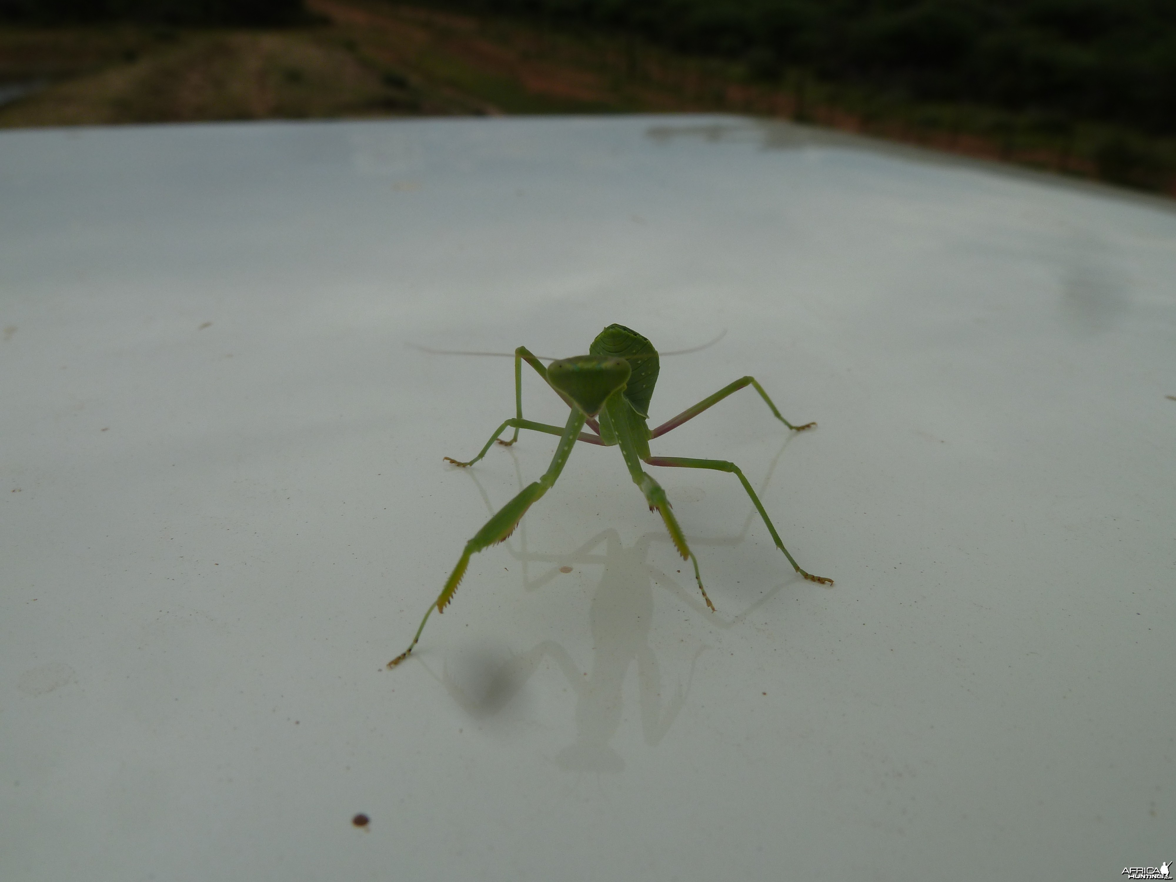 Praying Mantis Namibia