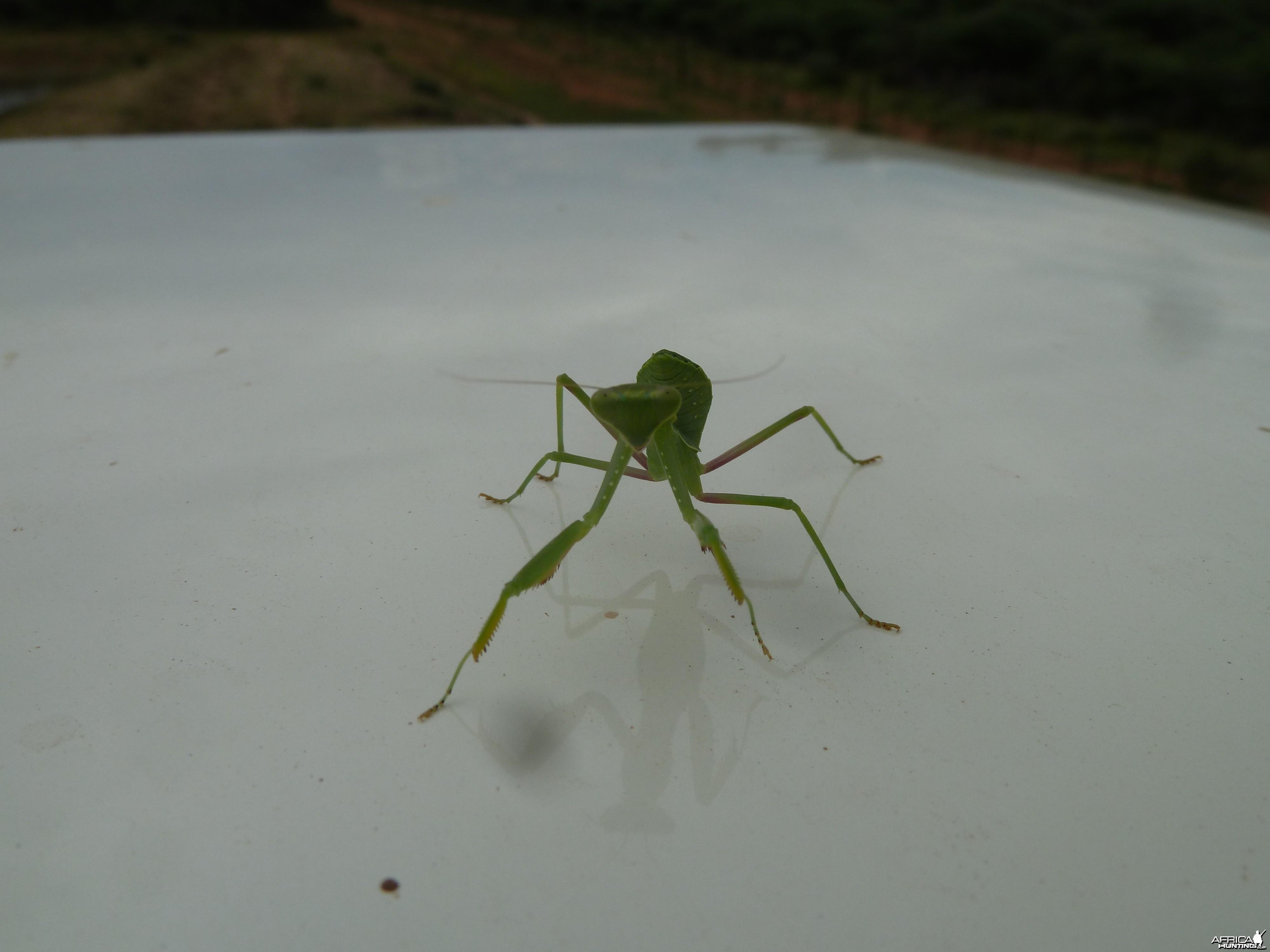 Praying Mantis Namibia