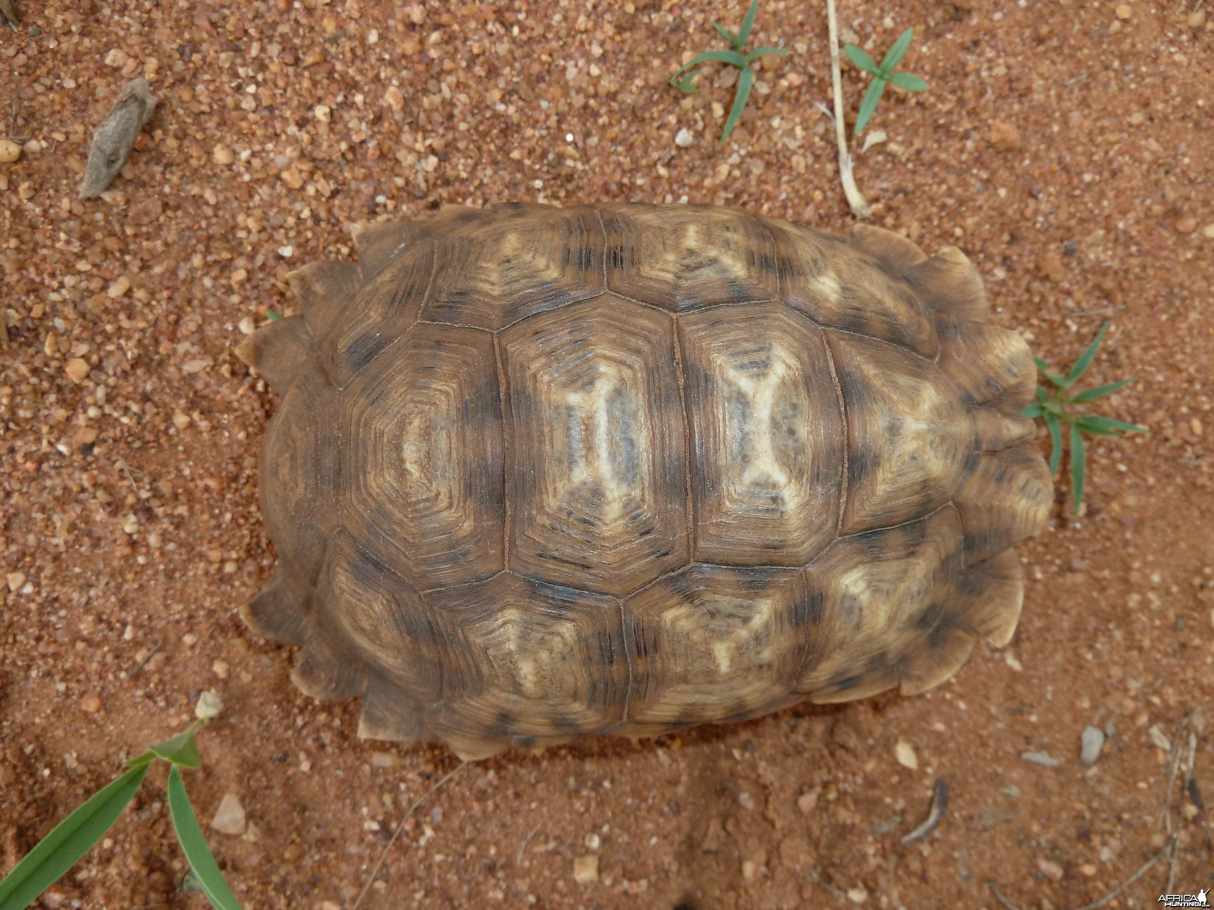 Serrated Star Tortoise Namibia