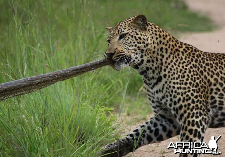 Tug of War African Bush Style
