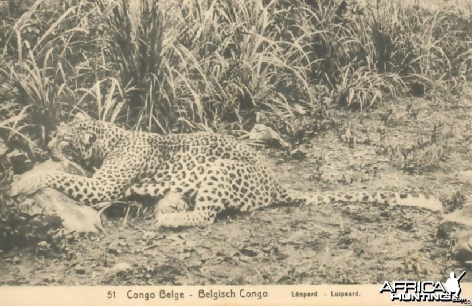 Leopard Hunting in Congo